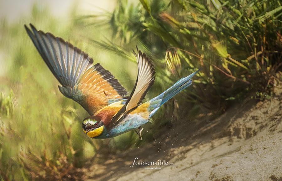 Abejaruco salpicando arena al levantar el vuelo, desplegando sus increíbles colores.