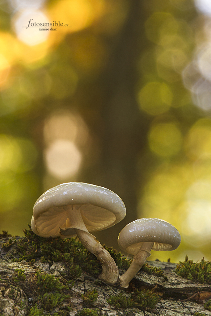 Pequeñas setas alucinando en otoño. Tal vez por su increíble capa de barniz natural.