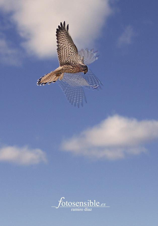 Hembra de cernícalo vulgar en su típico vuelo cernido (fotomontaje/taller).