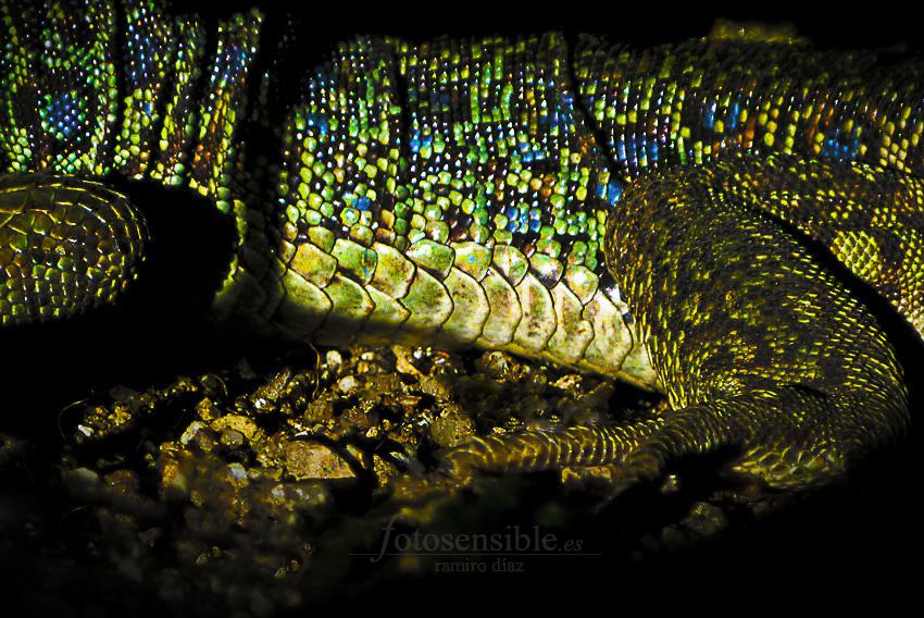 Increíbles los colores en la piel escamada del lagarto ocelado.