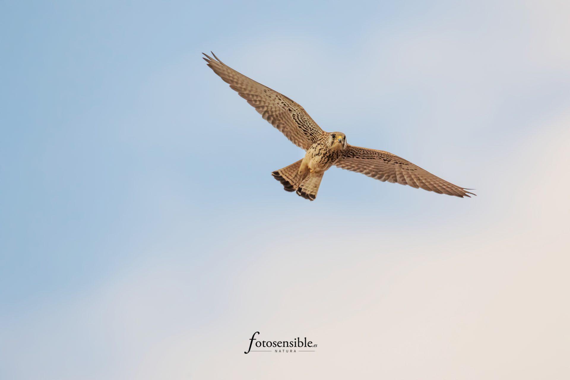 Hembra de cernícalo primilla (Falco naumanni)
