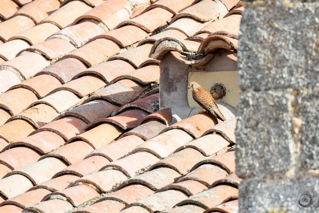 Pareja de cernícalos en su nido