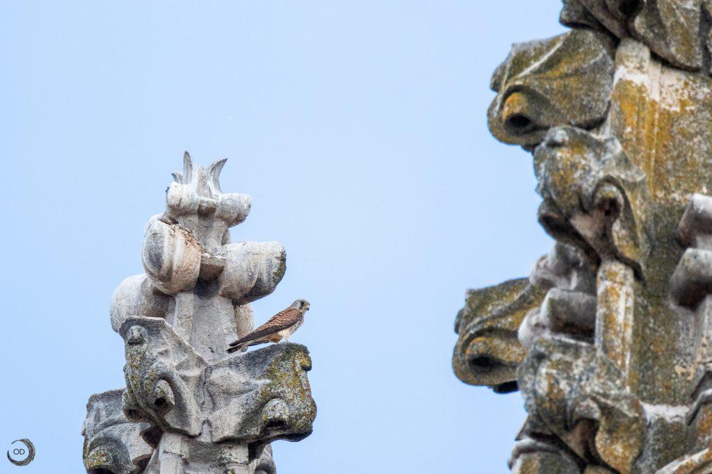 Macho de cernícalo primilla (Falco naumanni)